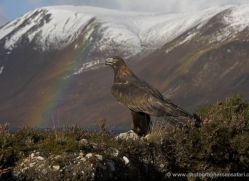 golden-eagle-878-scotland-copyright-photographers-on-safari-com