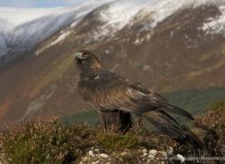 golden-eagle-879-scotland-copyright-photographers-on-safari-com