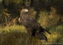 golden-eagle-880-scotland-copyright-photographers-on-safari-com
