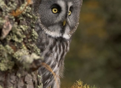 great-grey-owl-843-scotland-copyright-photographers-on-safari-com
