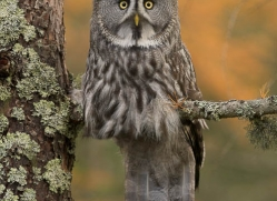 great-grey-owl-844-scotland-copyright-photographers-on-safari-com