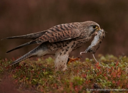 kestrel-822-scotland-copyright-photographers-on-safari-com
