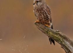 kestrel-823-scotland-copyright-photographers-on-safari-com