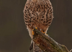 kestrel-824-scotland-copyright-photographers-on-safari-com
