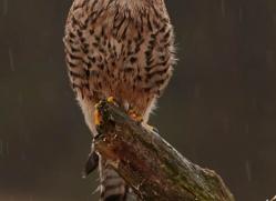 kestrel-825-scotland-copyright-photographers-on-safari-com
