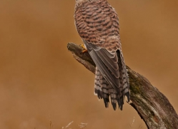 kestrel-826-scotland-copyright-photographers-on-safari-com
