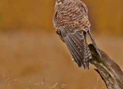 kestrel-829-scotland-copyright-photographers-on-safari-com