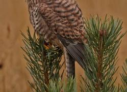 kestrel-832-scotland-copyright-photographers-on-safari-com