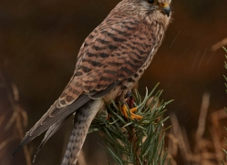 kestrel-836-scotland-copyright-photographers-on-safari-com