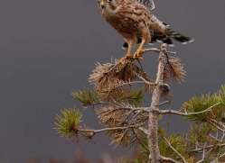 merlin-80-7-scotland-copyright-photographers-on-safari-com