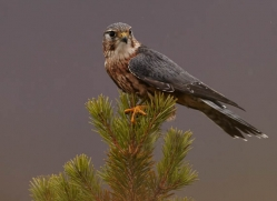 merlin-808-scotland-copyright-photographers-on-safari-com