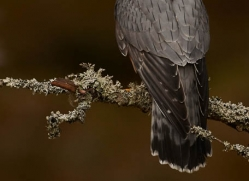 merlin-809-scotland-copyright-photographers-on-safari-com