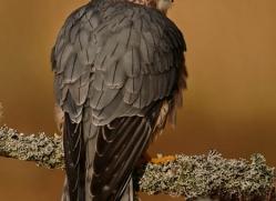 merlin-811-scotland-copyright-photographers-on-safari-com