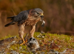 merlin-815-scotland-copyright-photographers-on-safari-com