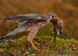 merlin-818-scotland-copyright-photographers-on-safari-com