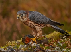 merlin-820-scotland-copyright-photographers-on-safari-com