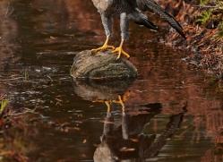 peregrine-falcon-785-scotland-copyright-photographers-on-safari-com
