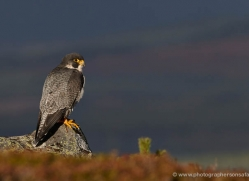 peregrine-falcon-786-scotland-copyright-photographers-on-safari-com