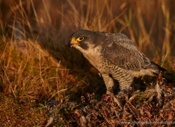 peregrine-falcon-787-scotland-copyright-photographers-on-safari-com