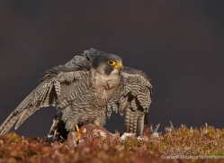 peregrine-falcon-790-scotland-copyright-photographers-on-safari-com