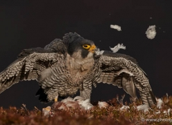 peregrine-falcon-791-scotland-copyright-photographers-on-safari-com