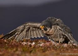 peregrine-falcon-792-scotland-copyright-photographers-on-safari-com