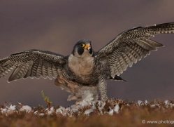 peregrine-falcon-794-scotland-copyright-photographers-on-safari-com