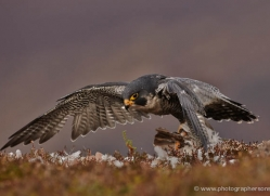 peregrine-falcon-797-scotland-copyright-photographers-on-safari-com