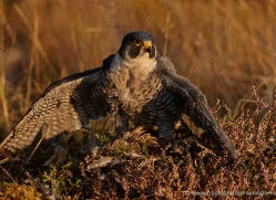 peregrine-falcon-799-scotland-copyright-photographers-on-safari-com