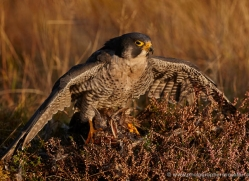 peregrine-falcon-800-scotland-copyright-photographers-on-safari-com
