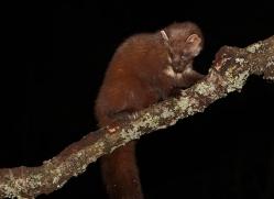 pine-marten-754-scotland-copyright-photographers-on-safari-com