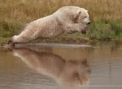 polar-bear-755-scotland-copyright-photographers-on-safari-com