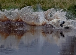 polar-bear-756-scotland-copyright-photographers-on-safari-com