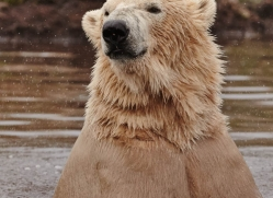 polar-bear-758-scotland-copyright-photographers-on-safari-com