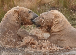polar-bear-760-scotland-copyright-photographers-on-safari-com