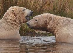 polar-bear-762-scotland-copyright-photographers-on-safari-com