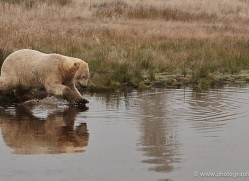 polar-bear-763-scotland-copyright-photographers-on-safari-com