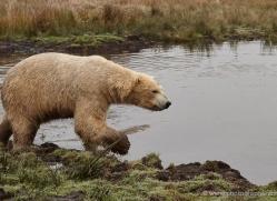 polar-bear-764-scotland-copyright-photographers-on-safari-com