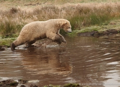 polar-bear-765-scotland-copyright-photographers-on-safari-com