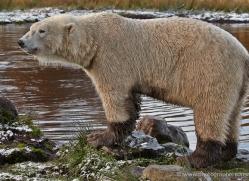 polar-bear-767-scotland-copyright-photographers-on-safari-com