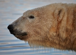 polar-bear-768-scotland-copyright-photographers-on-safari-com