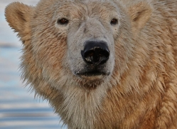 polar-bear-769-scotland-copyright-photographers-on-safari-com