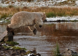 polar-bear-771-scotland-copyright-photographers-on-safari-com