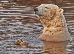 polar-bear-772-scotland-copyright-photographers-on-safari-com