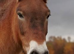 przewalskis-horse-777-scotland-copyright-photographers-on-safari-com