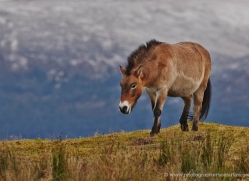 przewalskis-horse-778-scotland-copyright-photographers-on-safari-com