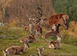 red-deer-741-scotland-copyright-photographers-on-safari-com