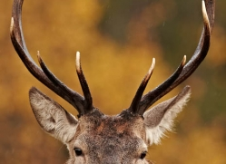 red-deer-744-scotland-copyright-photographers-on-safari-com