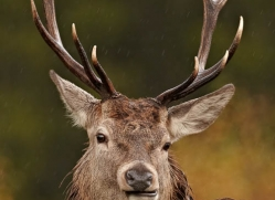 red-deer-745-scotland-copyright-photographers-on-safari-com