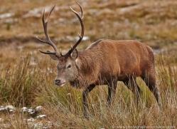 red-deer-752-scotland-copyright-photographers-on-safari-com